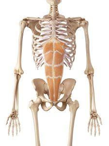 腹直筋のイメージ