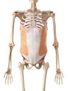 外腹斜筋のイメージ