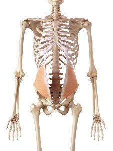 内腹斜筋のイメージ